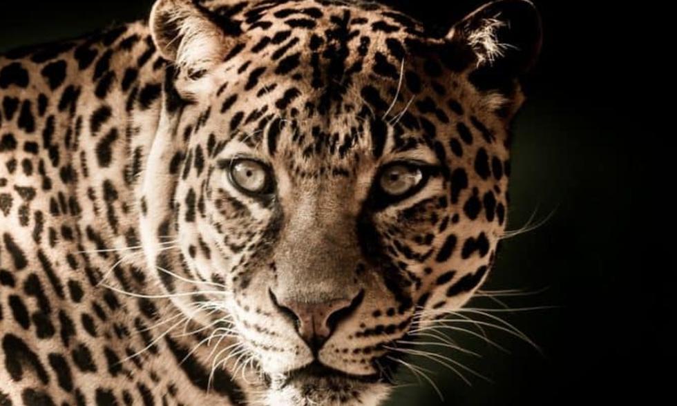 Leopardo invade patio de una casa y tuvo terrible encuentro con perrito