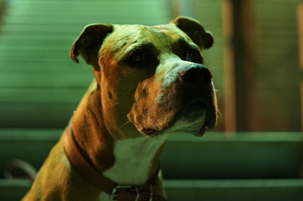 Un pitbull que pasó la mayor parte de su vida en perreras recibió una gran noticia. (Foto: Pixabay/Referencial)
