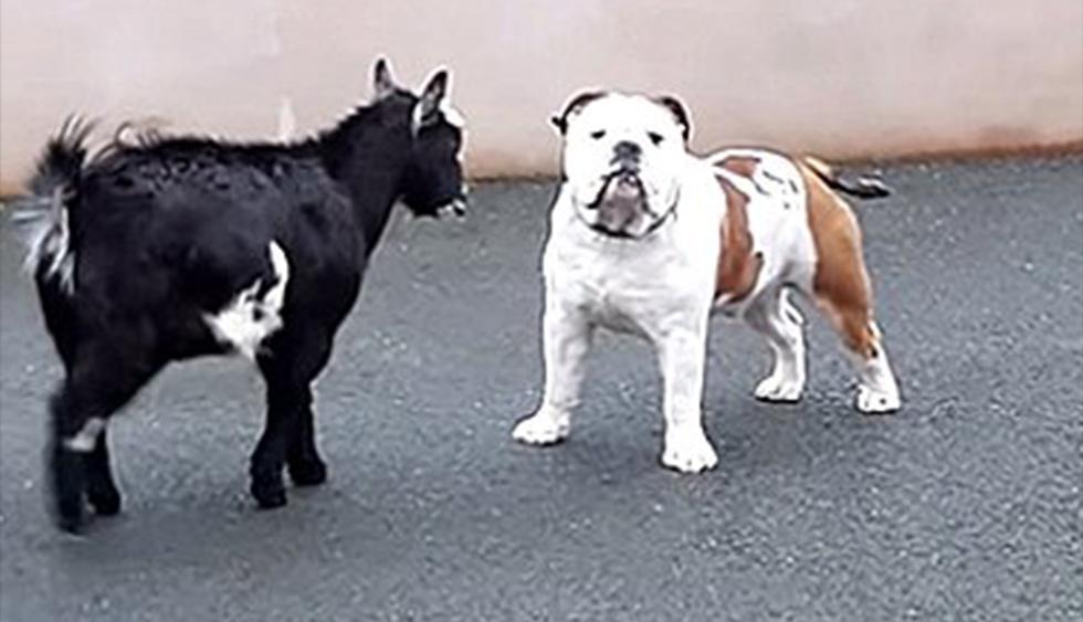 Cabra bebé ataca furiosamente a un bulldog y éste la mira sin entender nada. El video es viral en redes sociales. (YouTube)