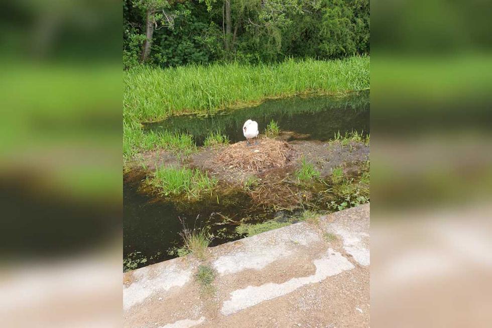 El cisne hembra se quedó sola tras el abandono de su pareja. | Foto: Michael James Mason