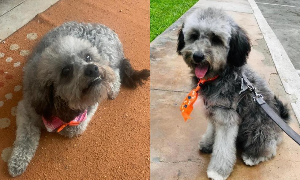 """""""Manchitas"""" es un perro mestizo, cruce de poodle mediano, tiene 1 año 4 meses, que se perdió el pasado miércoles 18 de noviembre."""