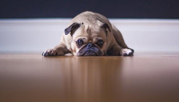Los perro de raza pug se caracterizan por tener grandes ojos redondos y la nariz aplanada. (Foto: Pixabay/ referencial)