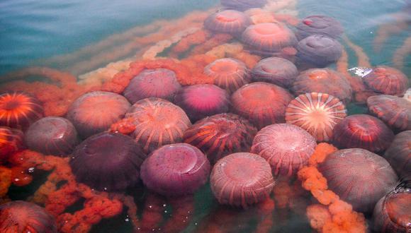 La entidad reporta proliferación de medusas de la especie Chrysaora plocamia en La Punta Callao. (Foto: Imarpe)