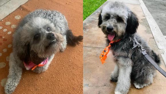 """Mascota se perdió en Lima, se llama """"Manchitas"""" y recompensa incluye también dinero en efectivo"""