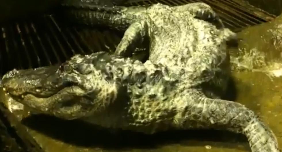 YouTube Viral: Murió cocodrilo de 84 años que sobrevivió bombardeo durante la II Guerra Mundial