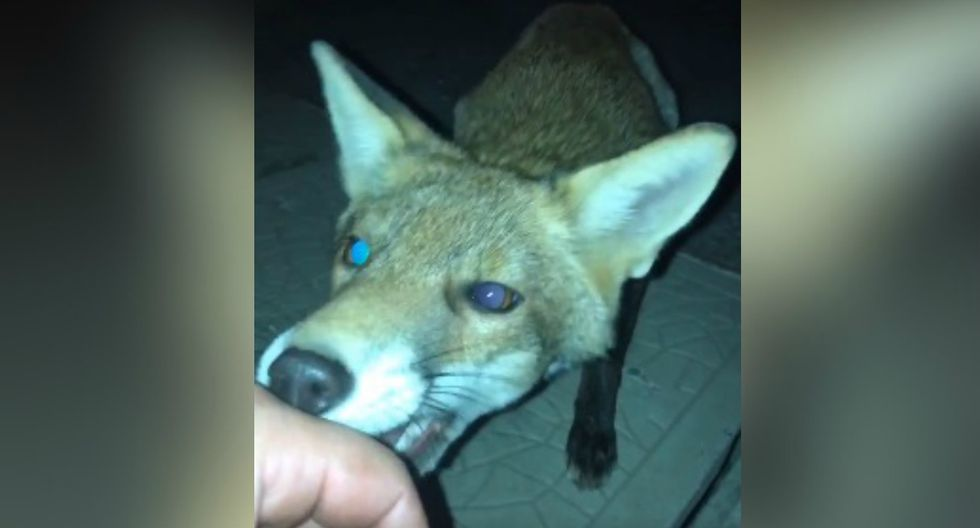 Es ahí donde el zorro sacó sus dientes para morderle la mano. (Facebook: @theCHIVE)