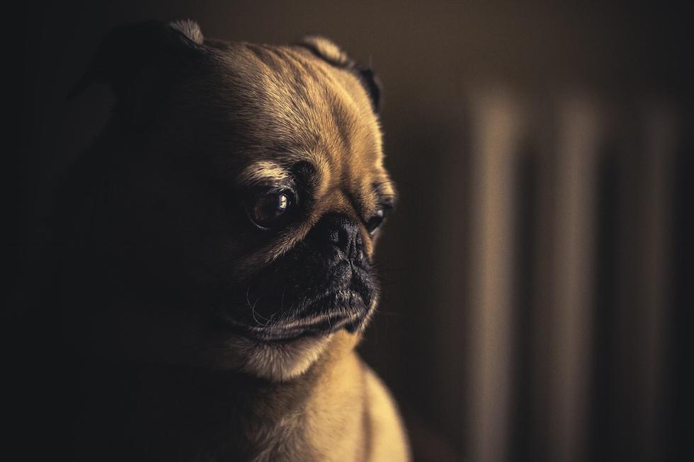 Después de ver la radiografía de un perro raza pug, no volverás a percibirlos de la misma manera (Foto: Pixabay/ Referencial)